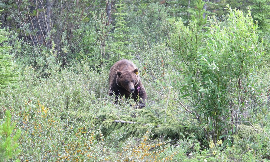 A grizzly bear, eating by highway in Alberta